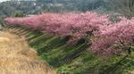 南桜3[1].kpsd.jpg